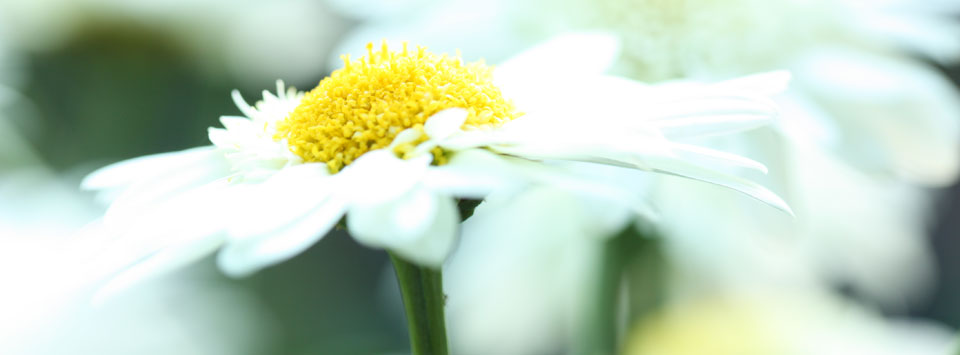 Panoramic image of daisy head